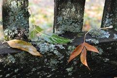 Farbiger Herbstlaub liegt auf dem alten Zaun, der mit Moos bedeckt wird Nach dem Regen Lizenzfreie Stockfotografie