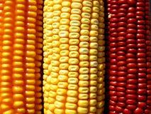 Farbiger Mais lizenzfreies stockfoto