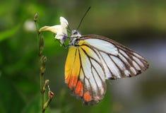 Farbiger Schmetterling, der auf Blume einzieht Stockfotos