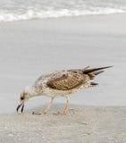 Farbiger Seemöwenvogel auf einem Sandstrand Stockfoto