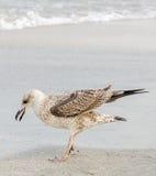 Farbiger Seemöwenvogel auf einem Sandstrand Lizenzfreies Stockfoto