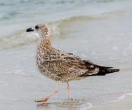 Farbiger Seemöwenvogel auf einem Sandstrand und -wasser Lizenzfreies Stockbild