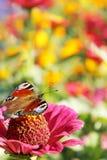 Farbiger Sommer Schmetterling sitzt auf der Blume Lizenzfreie Stockbilder