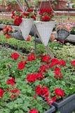Farbiges Pelargonienfeld mit hängenden Töpfen Feld der roten Efeupelargonie und für Verkauf Hängende Töpfe mit Blumen für Dekorat Lizenzfreie Stockfotografie