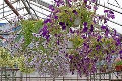 Farbiges Petunienfeld mit hängenden Töpfen Stimoryne Feld von purpurroten, rosa, weißen, grünen Petunien und für Verkauf Hängende Stockfotos