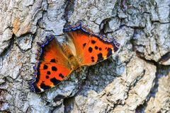 Farbiges und empfindliches Sitzen des Schmetterlinges auf einer rauen, trockenen Beschaffenheit stockfotografie
