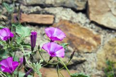 Farbitis suavemente rosado del Ipomoea de las flores con las hojas verdes contra la perspectiva de una pared vieja del farbitis d foto de archivo libre de regalías