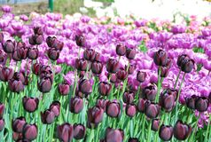 Farboase mit Tulpen Lizenzfreies Stockfoto