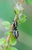 Fare sesso degli insetti fotografie stock libere da diritti