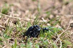 Fare sesso dello scarabeo fotografia stock