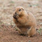 Fare un spuntino della marmotta Fotografie Stock Libere da Diritti