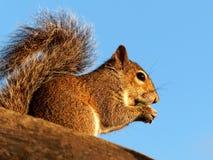Fare un spuntino scoiattolo Fotografia Stock Libera da Diritti