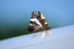 Farfalla 008 Immagini Stock Libere da Diritti