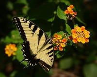 Farfalla 1 Fotografie Stock