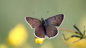 Farfalla Immagini Stock