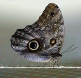 Farfalla Fotografie Stock Libere da Diritti