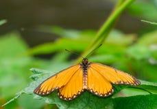 Farfalla Immagini Stock Libere da Diritti