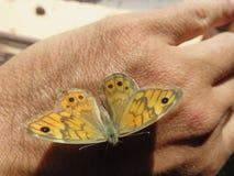 Farfalla imágenes de archivo libres de regalías