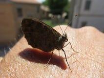 Farfalla imagen de archivo