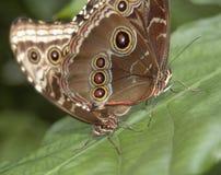 Farfalla accoppiamento blu 7007 di Morpho Fotografia Stock