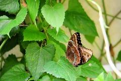 Farfalla: Accoppiamento blu di Morphos Fotografia Stock Libera da Diritti