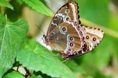 Farfalla: Accoppiamento di due Morphos Fotografia Stock Libera da Diritti