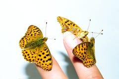 Farfalla addomesticata tre sul dito femminile Immagini Stock Libere da Diritti