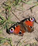 Farfalla adorabile sulla terra Fotografia Stock