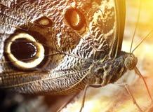 Farfalla affamata Immagine Stock