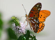 Farfalla (Agraulis Vanillae) Fotografia Stock Libera da Diritti