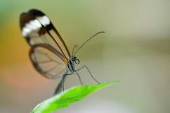 Farfalla alata vetro sulla foglia Immagine Stock Libera da Diritti