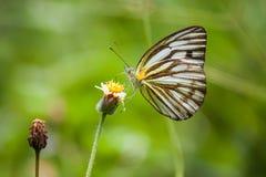 Farfalla: Albatro a strisce Fotografie Stock