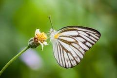 Farfalla: Albatro a strisce immagini stock
