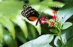 Farfalla alla casa della farfalla sull'isola/Germania di Mainau fotografia stock