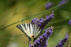 Farfalla alla ricerca del nettare Fotografie Stock