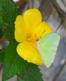 Farfalla alta chiusa di colore verde che raccoglie nettare sul fiore di fioritura giallo Fotografie Stock Libere da Diritti
