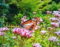 Farfalla alta chiusa sul fiore - offuschi il fondo del fiore Immagini Stock