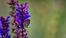 Farfalla alta chiusa sul fiore - offuschi il fondo del fiore Fotografie Stock