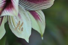 Farfalla Amaryllis Flower di Papilio di hippeastrum Immagine Stock Libera da Diritti
