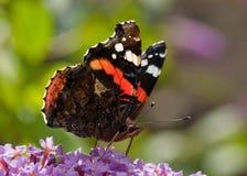 Farfalla - ammiraglio rosso Fotografia Stock