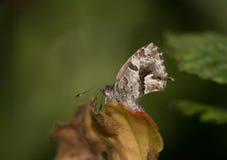 Farfalla in anticipo della molla immagini stock libere da diritti