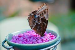 Farfalla appollaiata su un alimentatore che mangia nella serra tropicale fotografia stock libera da diritti