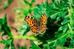Farfalla arancio Immagine Stock Libera da Diritti