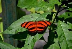 Farfalla arancio Fotografia Stock Libera da Diritti