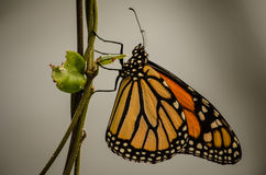 Farfalla arancio Immagini Stock Libere da Diritti