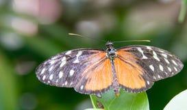 Farfalla arancio & bianca di Bkack, immagine stock libera da diritti