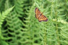Farfalla arancio del Vermont, la fritillaria argento-confinata immagine stock