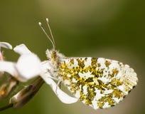 Farfalla arancio di punta Fotografia Stock Libera da Diritti