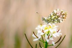 Farfalla arancio di punta che riposa sul crescione dei prati fotografia stock libera da diritti