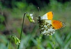 Farfalla arancio di punta Farfalla su un prato soleggiato Farfalle della primavera ali trasparenti luminose Copi gli spazi immagine stock libera da diritti